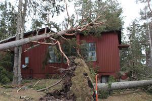 Vindfällen ligger över stora delar av ön, här har en tall ramlat över en byggnad som dock inte är i bruk.