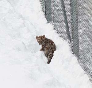 Ungen har blivit mycket aktiv och tillbringar mycket av sin tid utomhus trots den mängd snö som kommit. Foto: Kola Productions