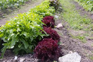 Grönsaksplanteringarna vid gården är nya för året.