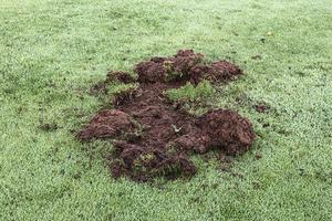 Så här såg det ut på ett av de ställen där vildsvin har förstört på golfbanan. Foto: Torbjörn Pettersson.