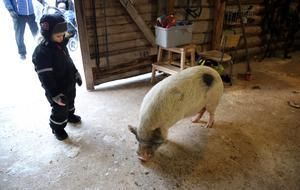 Estrid fyra år tittade på grisen.