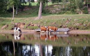 Vad skönt det är att bada! Några kor och kalvar svalkar sig i älven. FOTO: ANGELICA LINDVALL