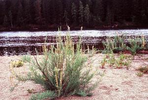 Klådriset kräver varierande vattenstånd i älven.