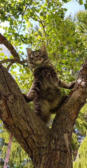 Min katt som utforskar ett träd för första gången. Foto: Isabelle Stéen