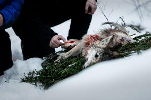 Den första vargen som fälldes i Flatenreviret i Smedjebackens kommun var angripen av skabb. Men de sex vargarna som fälldes i Dalarna var normalfriska, enligt den biträdande statsveterinären som har undersökt flera av de fällda vargarna.