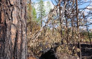 Stortallen har tjock skorpbark nära marken och klarar ofta skogsbränder, även om det uppkommer skador och trädet  nu låter kådan flöda och vanliga myror redan kryper runt på stammen. Andra och ovanliga insekter gynnas av att det brinner mer här och var, som det gjort historiskt.