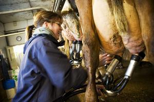 Jag får hjälpa Jeanette med att mjölka de sista korna.