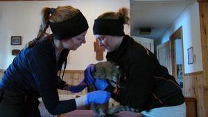 Caroline Behm har i dag anlitat en assisten i form av systerdottern Emelie Behm. Kan va bra att vara två då en arg katt ska behandlas.