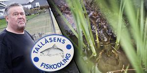 Tallåsens Fiskodling har avslutat laxodlingen i Sillerboån – men nu överväger Bengt Ångström kräftodling på land.