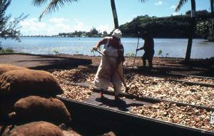 Kopraframställning i Franska Polynesien. Kopra är den torkade frövitan från en kokosnöt och används till kokosfett och kokosolja.