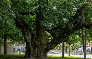 Foto: Örebro kommun                                                           Von Akens kastanj är stadens äldsta träd och ett smycke i parken. Med sina resliga gamla träd har Oskarsparken en stor betydelse som grön lunga i innerstaden. Här finns en nybyggd boulebana och en lekplats.