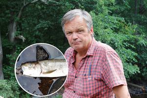 Bernt Moberg hittade två döda harrar i Testeboån. Fiskarna har troligtvis dött på grund av den höga vattentemperaturen.