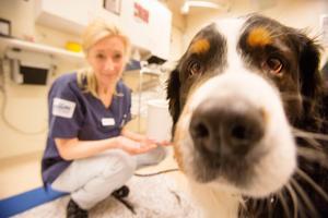 Rana, en sjuårig Berner Sennenhund, får behandling efter en knäledsskada som hon ådragit sig och blivit opererad för.