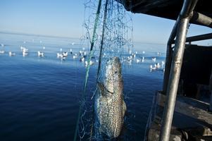 Torsken i Ålands hav verkar må bra. Men i resten av Östersjön mår torsken riktigt dåligt. EU-kommissionen och EU-länderna runt Östersjön måste nu fatta de beslut som krävs för att torskarna och torskbestånden skall kunna växa till. Foto: Yvonne Åsell, TT.