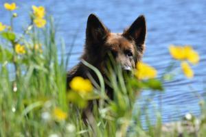 Bilden är tagen vid Tyttbo och Dalälven i bakgrunden. Det är min schäfertik Vackra som kikar fram. Foto: Gunilla Östman
