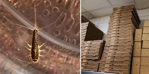 Efter att miljö- och hälsoenheten hittade småkryp i form av spindlar och silverfiskar i bland annat pizzakartongerna får nu restaurangen ett föreläggande.