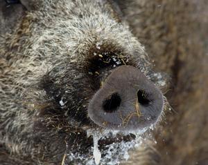 En person har anmält att han kört på två vildsvin i Leksands kommun. Vildsvinen var dock redan döda och polisen misstänker att de har blivit påkörda av ett annat fordon, vars förare sedan har smitit från platsen.OBS: Bilden föreställer ett annat vildsvin.
