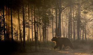 Björnarna har börjat dragit sig mer mot kusten. Bild: Andreas Göransson