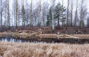 Från Norrkämstaleden syns bävrarnas framfart tydligt.