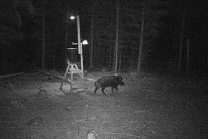 En åtelkamera har fotat ett vildsvin som ätit majs som ströts ut från en självförsörjande foderåtel som är en tunna försedd med solceller och en timer. Lampor lyser upp matplatsen med svag belysning på natten och när djur rör sig på området ökar ljusstyrkan gradvis så att grisarna ska gå att urskilja i mörkret.  Foto: Johan Dahlqvist
