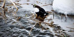 Brånsån. Ett fritt strömmande vattendrag i länet där sällsynta arter går att skåda.