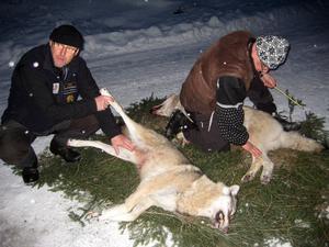 Länsstyrelsen besiktar två vargar som fälldes i Råhällan i Ockelbo under licensjakten 2011.