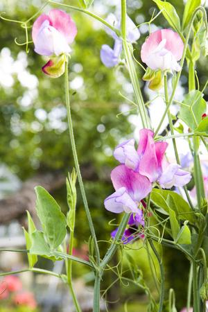 Ljuvligt doftande luktärter klättrar uppför sin blomställning.