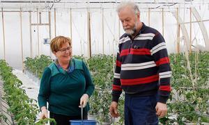 Lea och Uno Hörnström  har precis ställt ut alla plantorna och i slutet av maj beräknas de ge kulörta tomater i flera olika färger och smaker.
