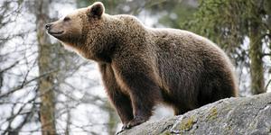 Alla tillåtna björnar sköts redan en månad innan jakten egentligen skulle avblåsas.