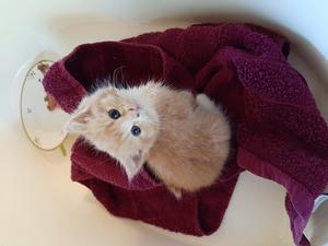 Det här är Lusekoftacasanova. Han kallas Lusse. Han hittades övergiven vid cirka 4 veckors ålder under en hög med skrot. Han älskar att leka med allt som han egentligen inte får leka med. I dag är han 15 veckor gammal och har gjort sig hemmastadd i sitt hem i Hedesunda. Bild: Stephanie Lytton