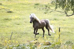 Bästisen Ask. En 19 år gammal Islandshäst kommer travande på minsta signal från Sofi.