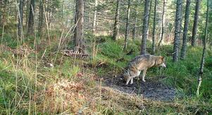 Här är den skadade vargen i reviret som sträcker sig från Uppland till Gästrikland. Bild: Länsstyrelsen Uppsala.