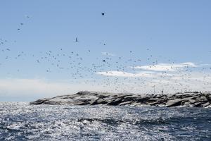 Inte bara sälen ställer till det för fiskarna i Västernorrland, fågelarten skarv har etablerat sig med besked i länet de senaste tio åren, vilket medfört skador på såväl fisk, redskap och naturen. På Bohlmen utanför Husum finns en över 3 500 skarvar stor koloni.