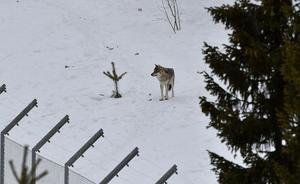 En varg i ett hägn med tillstånd, här Orsa rovdjurspark.