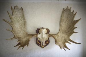 Älghornen har sammanlagt 29 taggar och var på sin tid störst. Älgen fälldes i Moviken. Poängen räknades till 376,5 enligt Jägarförbundets hornmätning.
