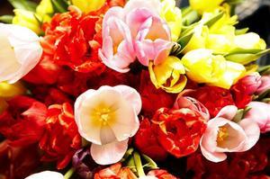 För att hålla tulpanerna vackra extra länge kan man ställa in dem i kylskåpet över natten.