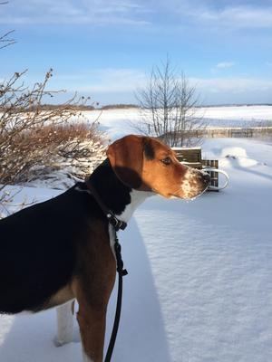 Hamiltonstövare Gustav ute i snön på Tidö Lindö. Foto: Bernt
