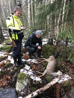 Anders Wiklund och Thure Pontén hjälptes åt att bära ut rådjuret efter att Anders avlivat det. Foto: Karin Pontén