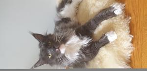 Detta är Elsa. En fin maine coon katt på 1 år. Bild: Hanna Simander