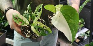 Grönväxtriket säljer exklusiva krukväxter. Till vänster en monstera adansonii variegata och till höger monstera deliciosa variegata, växten som allt började med.