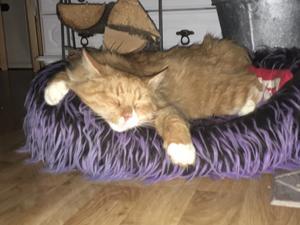 311) Det här är Sally, hon är drottningen av sovstilar. Hon är en social katt på 1 år med mycket energi. Hon njuter verkligen när hon sover. Foto: Kristina Karlsson