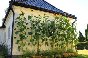 Förra året var sommaren  väldigt torr, men solrosorna på Munthes Hildasholm i Leksand har trivts i det varma, soliga vädret och blivit rekordstora: 370 cm från marken till takfoten. Foto: Ingemar Blomqvist