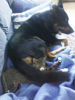 """""""Här är vår hund Baron, 7 år, och katten Sixten, 2 år. Så här kan de ligga och sova ibland. Sixten känner sig trygg med Baron och hankänner att hanhar sällskap av Sixten, om de blir ensam hemma en stund. Sixten har vuxit upp med Baron, de leker tafatt, Baron hämtar leksaker till Sixten för att få igång en lek. Baron är väldigt snällhan tar hand om djur som är mindre än honom. Baronvaktade en talgoxe som låg på marken förra sommaren, efter att denkrockat med ett fönster, Baron låg bredvid pippin tills den kunde flyga iväg igen, då reste sig Baron och tittade på talgoxen, som satte sig i ett träd en bit ifrån sedan flög den iväg. Det var precis som om den tackade honom. När Baron kommer in ifrån en promenad så kommer Sixten och möter honom och stryker sig mot honom som om han säger 'äntligen kommer du in igen'. Sixten är en innekatt, korsning mellan Siames och Main coon– mycketklok kisse. Baron är en korsning mellan Schäfer och Rottweiler – lugn men vaksam på det som finns runt omkring, en klok och fin vakthund.Jag är hundmänniska, men har fattat tycke för katter nu efter att Sixten kom in i vårt hem. De är stabila i sitt varande,de gör som de vill, man kan aldrig tvinga dem till något. Vi har mycket att lära oss av djuren om vi tar oss tid att studera dem.""""Hälsningar från matte Eva Steen, Östersund."""