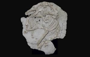 Däggdjuren återhämtade sig snabbt efter katastrofen för 66 miljoner år sedan. En av de arter som då blev vanliga var Leptictis vars fossil syns på bilden.   Thomas Halliday