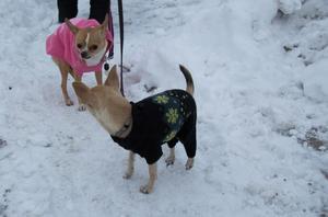 Hundarna Maja och Molly, av rasen chihuahua, fryser i vintervädret.