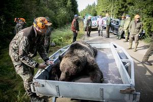Björnjakten i Västernorrland startar på söndag den 21 augusti och pågår till den 15 september om inte kvoten fylls innan dess.
