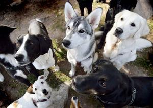 Antalet renrasiga hundar i Sverige har mer än fördubblats de tio senaste åren.