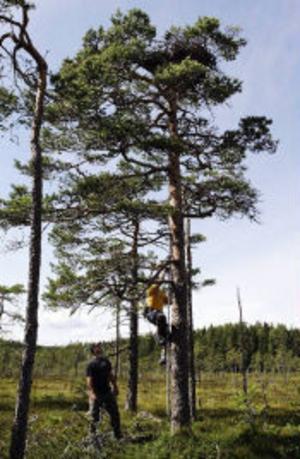 Anders Pettersson klättrar upp för att kontrollera ett fiskgjusebo på en myr, Peter Nilsson står hoppfull nedanför.