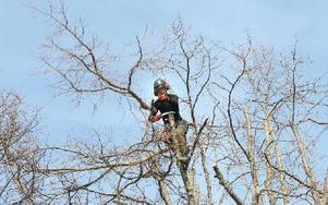 Joel Linder är en av arboristerna som just nu jobbar på Norslunds kyrkogård och är uppe i en av lindarna som ska vitaliseringsbeskäras. Foto: Curt Kvicker