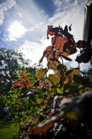 Ormhassel är ett träd med spännande form. Den rödbladiga är läcker då solen skiner på bladen.